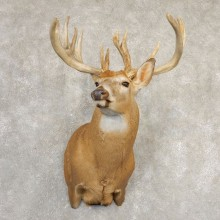 Whitetail Deer Shoulder Taxidermy Mount For Sale #20832 @ The Taxidermy Store.jpg