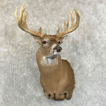 Whitetail Deer Shoulder Taxidermy Mount For Sale #24600 @ The Taxidermy Store