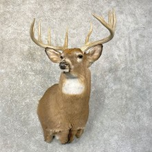 Whitetail Deer Shoulder Taxidermy Mount For Sale #24603 @ The Taxidermy Store