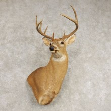 Whitetail Deer Shoulder Wall Pedestal Mount #21582 For Sale - The Taxidermy Store