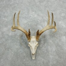 Whitetail Deer Skull European Mount For Sale #18082 @ The Taxidermy Store
