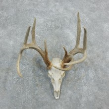 Whitetail Deer Skull European Mount For Sale #18320 @ The Taxidermy Store