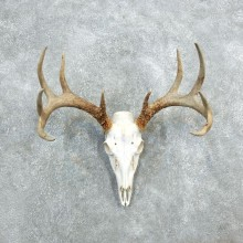 Whitetail Deer Skull European Mount For Sale #18326 @ The Taxidermy Store