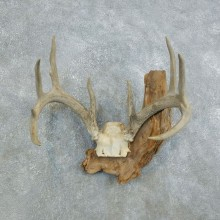 Whitetail Deer Skull European Mount For Sale #18444 @ The Taxidermy Store