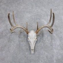 Whitetail Deer Skull European Mount For Sale #18700 @ The Taxidermy Store