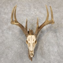 Whitetail Deer Skull European Mount For Sale #18874 @ The Taxidermy Store