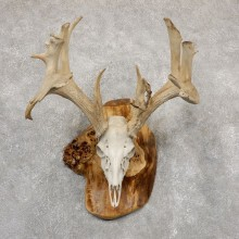Whitetail Deer Skull European Mount For Sale #18927 @ The Taxidermy Store