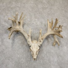 Whitetail Deer Skull European Mount For Sale #18928 @ The Taxidermy Store