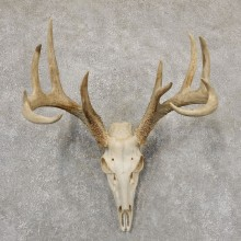 Whitetail Deer Skull European Mount For Sale #18931 @ The Taxidermy Store