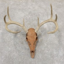 Whitetail Deer Skull European Mount For Sale #18936 @ The Taxidermy Store