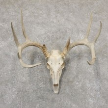 Whitetail Deer Skull European Mount For Sale #18937 @ The Taxidermy Store