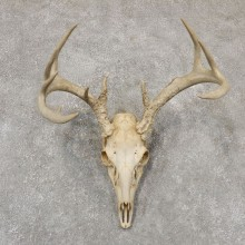 Whitetail Deer Skull European Mount For Sale #18949 @ The Taxidermy Store