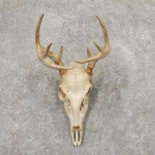Whitetail Deer Skull European Mount For Sale #18951 @ The Taxidermy Store
