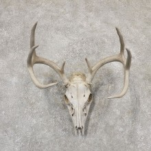Whitetail Deer Skull European Mount For Sale #18954 @ The Taxidermy Store