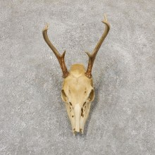 Whitetail Deer Skull European Mount For Sale #18958 @ The Taxidermy Store