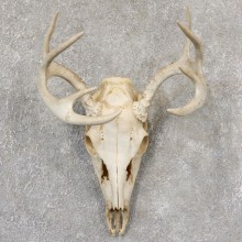Whitetail Deer Skull European Mount For Sale #19028 @ The Taxidermy Store