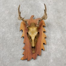 Whitetail Deer Skull European Mount For Sale #19146 @ The Taxidermy Store
