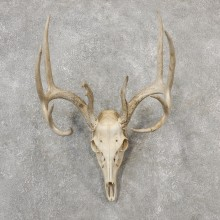 Whitetail Deer Skull European Mount For Sale #19148 @ The Taxidermy Store
