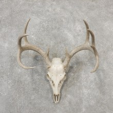 Whitetail Deer Skull European Mount For Sale #19150 @ The Taxidermy Store