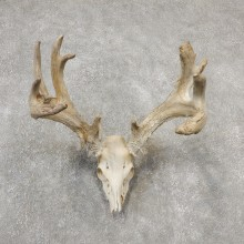 Whitetail Deer Skull European Mount For Sale #19151 @ The Taxidermy Store