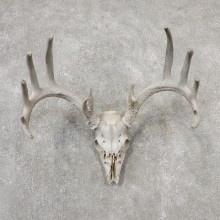 Whitetail Deer Skull European Mount For Sale #19152 @ The Taxidermy Store