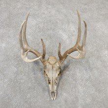 Whitetail Deer Skull European Mount For Sale #19156 @ The Taxidermy Store