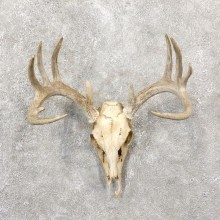 Whitetail Deer Skull European Mount For Sale #19244 @ The Taxidermy Store