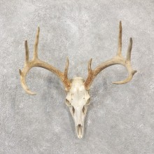 Whitetail Deer Skull European Mount For Sale #19246 @ The Taxidermy Store