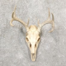 Whitetail Deer Skull European Mount For Sale #19253 @ The Taxidermy Store
