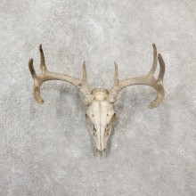 Whitetail Deer Skull European Mount For Sale #19255 @ The Taxidermy Store