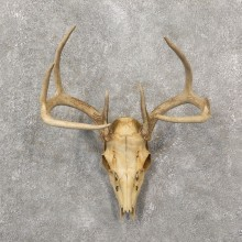 Whitetail Deer Skull European Mount For Sale #19258 @ The Taxidermy Store