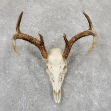 Whitetail Deer Skull European Mount For Sale #19411 @ The Taxidermy Store