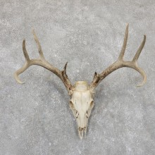 Whitetail Deer Skull European Mount For Sale #19420 @ The Taxidermy Store