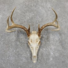 Whitetail Deer Skull European Mount For Sale #19509 @ The Taxidermy Store