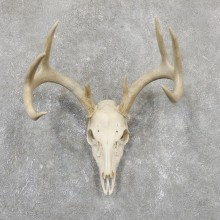 Whitetail Deer Skull European Mount For Sale #19510 @ The Taxidermy Store
