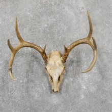 Whitetail Deer Skull European Mount For Sale #19511 @ The Taxidermy Store