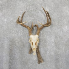 Whitetail Deer Skull European Mount For Sale #19513 @ The Taxidermy Store