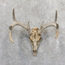 Whitetail Deer Skull European Mount For Sale #19661 @ The Taxidermy Store