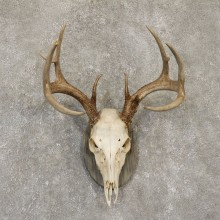Whitetail Deer Skull European Mount For Sale #20099 @ The Taxidermy Store