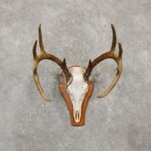Whitetail Deer Skull European Mount For Sale #20158 @ The Taxidermy Store
