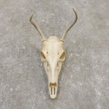 Whitetail Deer Skull European Mount For Sale #20161 @ The Taxidermy Store