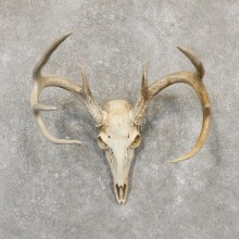 Whitetail Deer Skull European Mount For Sale #20164 @ The Taxidermy Store