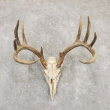 Whitetail Deer Skull European Mount For Sale #20171 @ The Taxidermy Store