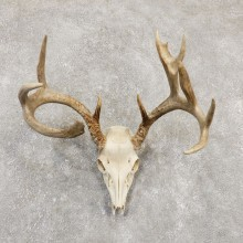 Whitetail Deer Skull European Mount For Sale #20174 @ The Taxidermy Store