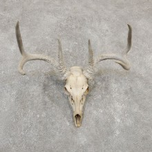 Whitetail Deer Skull European Mount For Sale #20176 @ The Taxidermy Store