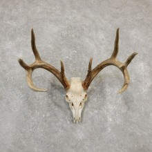 Whitetail Deer Skull European Mount For Sale #20179 @ The Taxidermy Store