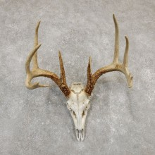 Whitetail Deer Skull European Mount For Sale #20180 @ The Taxidermy Store