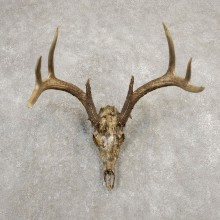 Whitetail Deer Skull European Mount For Sale #20373 @ The Taxidermy Store