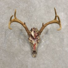 Whitetail Deer Skull European Mount For Sale #20449 @ The Taxidermy Store