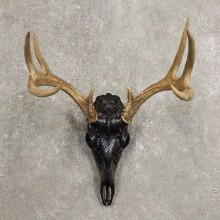 Whitetail Deer Skull European Mount For Sale #20452 @ The Taxidermy Store